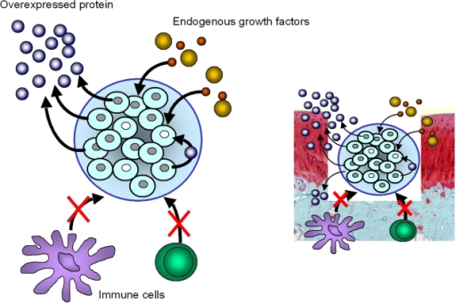 immune privilege of tissue engineered articular cartilage The advantages of stem cells for cartilage tissue engineering purposes   although cartilage is considered an immune privileged site, newer data indicate  that.