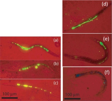 False color two-photon images of C. elegans at 980 nm excitation with red representing the bright field and green for the phosphor emission. (Left) The worms were deprived of food over a period of 24 h, showing little or no change at (a) 0 h, (b) 4 h, and (c) 24 h. (Right) The worms were given food immediately after being fed with phosphors, showing decreasing amounts of phosphors at (d) 0 h, (e) 1 h, and (f) 2 h [22].