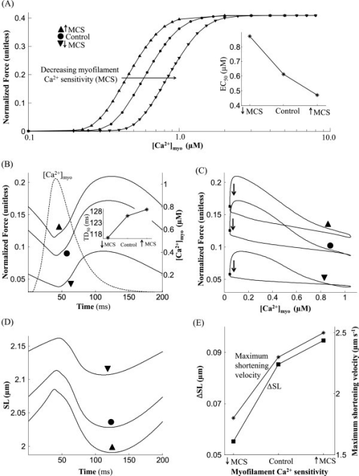 Role of myofilament Ca2 + sensitivity. Dependence of isometric contraction on myofilament Ca2 + sensitivity (MCS). (A) The steady state normalized force versus [Ca2 + ]myo relationship shows a rightward shift with decreasing myofilament Ca2 + sensitivity. (B) Traces for normalized force recorded at steady state with an overlay of the [Ca2 + ]myo transient. The inset shows MCS dependent changes in TD50 (time taken from 50% activation to 50% relaxation). (C) Phase plots of normalized force versus the instantaneous Ca2 + concentration in the cytosol. (D) Traces for sarcomere length indicating increased shortening with temperature. (E) Degree of sarcomere shortening and peak shortening velocity as a function of MCS. Model generated data corresponds to an idealized rat ventricular myocyte at 22.5°C driven by standard 50 ms voltage pulses at a repetition frequency of 5 Hz.