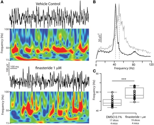 Blocking neurosteroidogenesis increases γ oscillations frequency in slices from WT mice. (A) Representative 1 s epoch of local field potential oscillations and corresponding Morlet Wavelets in the CA3 region of hippocampal slices obtained from a WT adult male mouse in vehicle (DMSO 0.01%) or in 1 μ M finasteride (after 30 min incubation). (B) Power spectral densities of the same recordings (average of 180 s) for DMSO 0.01% (black) and finasteride (gray). (C) Peak frequencies of γ oscillations recorded in either vehicle or 1 μ M finasteride. The latter have significantly higher peak frequencies. Box plots represent mean, 25th and 75th percentile, and largest and smallest values. Mean peak frequency ± SEM in Hz: DMSO 0.01% = 44.5 ± 0.5, finasteride = 49.1 ± 0.6 p < 0.0001, two-tailed unpaired t-test. Asterisks denote significance (p < 0.05). No differences were found in power at peak frequency, p = 0.5, and total power (30–120 Hz), p = 1. n's for each group are reported in the figure.
