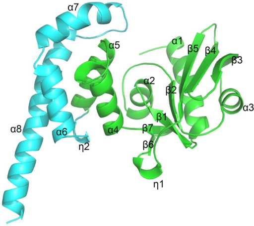 Overall structure of JHP933.Ribbon diagram of the JHP933 structure, N-terminal core domain is colored in lime and C-terminal tail domain in cyan. α-helices are labelled with α, β-strands are labelled with β, and 310 helices are labelled with η.