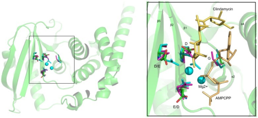 Active site conservation and substrate binding of JHP933, LinA and LinB.The C atoms of active site residues are shown in ball-and-stick representation and distinctively colored: lime for JHP933, magenta for LinA (4E8J), and cyan for LinB (3JZ0). The substrate Mg2+ ions, as cyan spheres, AMPCPP and clindamycin, in yellow, are from LinB complex structure.