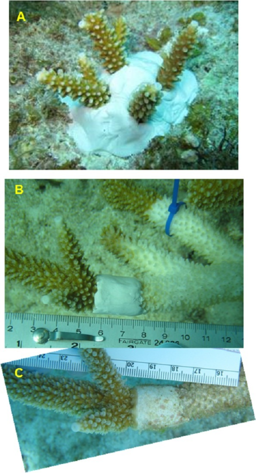 Illustration of the treatments used in mitigation trials.(A) Excision (EX) of healthy looking tips snipped from a nearby disease colony and re-attached to the reef, (B) Epoxy band (EB) surrounding the diseased tissue margin. One month later (C) this 'successful' EB replicate shows no additional tissue loss and initial regrowth over the epoxy. Control treatments are illustrated in Figs. 1C and 1D.