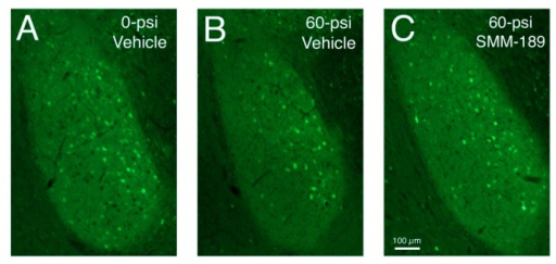 Images of sections through the basolateral amygdala on the blasted side from mice engineered to express enhanced yellow fluorescent protein (EYFP) in Thy1-enriched telencephalic neurons. Note that the basolateral amygdala (BLA) in the vehicle-treated 0-psi mouse (A) contains numerous Thy1-EYFP+ neurons, while the BLA in the vehicle-treated 50-psi mouse (B) contains fewer. Thy1+ neurons in BLA are increased in SMM-189-treated 50-psi mice (C) above that seen in the vehicle-treated 50-psi mouse.