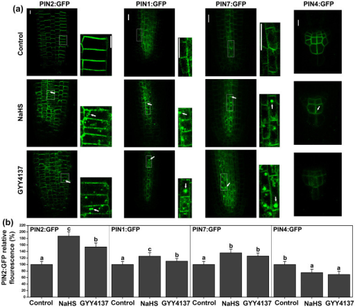 H2S modulates the expression and distribution of PIN proteins in apical zone of the primary root.(a) Distribution of PIN1:GFP, PIN2:GFP, PIN4:GFP and PIN7:GFP proteins were shown in untreated control plants, treated with 200 μM NaHS and treated with 100 μM GYY4137 for 6 h. Images shown are representative of each treatment. Scale bar = 5 μm. (b) Fluorescence density of PIN1:GFP, PIN2:GFP, PIN4:GFP and PIN7:GFP, the transgenic lines were treated with NaHS or GYY4137 for 6 h. Data are mean values and SE (n > 25) in (a) and (b). The arrows indicated the compartments formation of PINs. Within each set of experiments, bars with different letters are significantly different (P < 0.05, Duncan's multiple range tests).