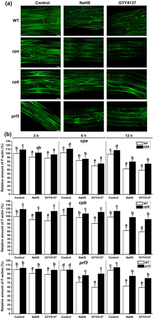 Effects of H2S on F-actin in root of WT, cpa, capb and prf3.(a) Distribution of F-actin was shown in untreated control plants, treated with 200 μM NaHS or with 100 μM GYY4137 for 6 h. Images shown are representative of each treatment. Scale bar = 10 μm. (b) Quantification of the relative F-actin levels. The amount of F-actin in untreated WT roots was normalized to 100% as the control. Data are mean values and SE (n > 25) in (a) and (b). Within each set of experiments, bars with different letters are significantly different (P < 0.05, Duncan's multiple range tests).