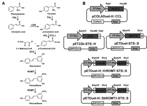 (A) Biosynthetic pathway of stilbene compound production from phenylalanine and (B) construction of recombinant plasmids carrying the genes (ScCCL, STS, the synthetic RpSTSsyn, VrROMTsyn, and SbROMT3syn) involved in stilbene biosynthesis. The sequential actions of PAL or TAL, C4H, 4CL (CCL), STS, and ROMT result in the conversion of phenylalanine to stilbenes, resveratrol, and its methylated derivatives. PAL, phenylalanine ammonia-lyase; C4H, cinnamate-4-hydroxylase; TAL, tyrosine ammonia-lyase; 4CL, 4-coumarate:coenzyme A ligase; CCL, cinnamate/4-coumarate:coenzyme A ligase; STS, stilbene synthase; ROMT, resveratrol O-methyltransferase; T7 Pro, T7 RNA polymerase promoter; H, His-tag; S, S-tag.