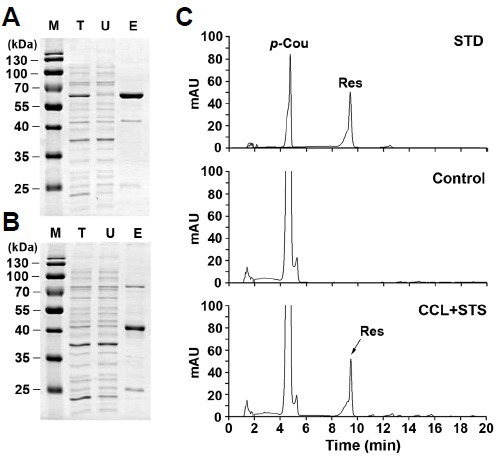 In vitro assays for production of resveratrol from p-coumaric acid by purified recombinant CCL and STS. His-tagged CCL (A) and STS (B) recombinant proteins were expressed in E. coli and affinity-purified using Ni-NTA agarose. Protein samples (2 μg) of total lysates (T) after induction, unbound fraction (U) after Ni-NTA bead incubation, and purified His-CCL or His-STS eluted from agarose beads (E) were separated by 13% SDS-PAGE and stained with CBB. The partially purified enzymes (each 1.5 μM) were assayed for CCL and STS activity with 0.2 mM p-coumaric acid as a precursor in the presence of 0.3 mM malonyl-CoA and 0.3 mM CoA. The reaction mixtures were incubated at 30°C for 3 h prior to extraction. Concentrated 20 μl samples were analyzed by HPLC. Chromatogram STD represents the authentic standards of p-coumaric acid (p-Cou) and resveratrol (Res) with retention times of 4.75 and 9.51 min, respectively. Chromatograms Control and CCL+ STS represent the samples produced from p-coumaric acid by in vitro assays without and with recombinant proteins, respectively.