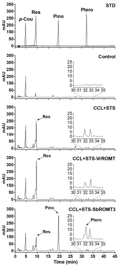 HPLC analysis of resveratrol and pinostilbene produced by recombinant E. coli. E. coli cells harboring CCL+STS, CCL+STS-VrROMT, or CCL+STS-SbROMT3 constructs were cultured for 48 h prior to extraction. Chromatogram STD represents the authentic standards of resveratrol (Res), pinostilbene (Pino), and pterostilbene (Ptero) with retention times of 9.423, 19.327, and 32.009 min, respectively. Chromatograms Control, CCL+STS, CCL+STS-VrROMT, and CCL+STS-SbROMT3 represent the samples produced from p-coumaric acid by recombinant E. coli. Insets indicate the chromatograms magnified to show small amounts of pterostilbene production.