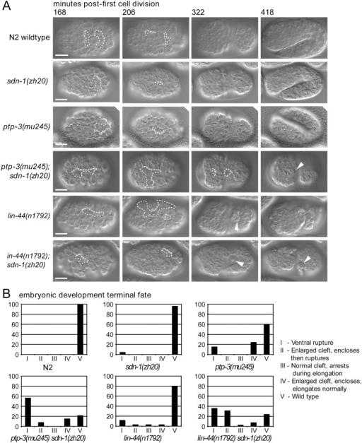 The dual loss of ptp-3 and sdn-1 results in synergistic defects during embryogenesis.A: Using 4D time-lapse microscopy we monitored embryogenesis in N2 wild-type, ptp-3, sdn-1, lin-44 single mutants, and lin-44; sdn-1 and ptp-3; sdn-1 double mutants. The gastrulation clefts (outlined regions) present in the single mutants are more likely to close during development than the clefts in the double mutants. The arrowhead indicates cells that have extruded from the internal region of the embryo through the open gastrulation cleft (panel 418 minutes). B: Terminal fates of the embryos plotted by genotype.