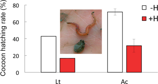 Percentage of cocoons with hatchlings of a vertically burrowing (L. terrestris, Lt) or a soil dwelling earthworm species (A. caliginosa, Ac) collected from mesocosms without (−H) and with (+H) herbicide application.(Lt: N = 1–2, Ac: N = 6, mean ± SE). Inset shows a cocoon with a freshly hatched L. terrestris.