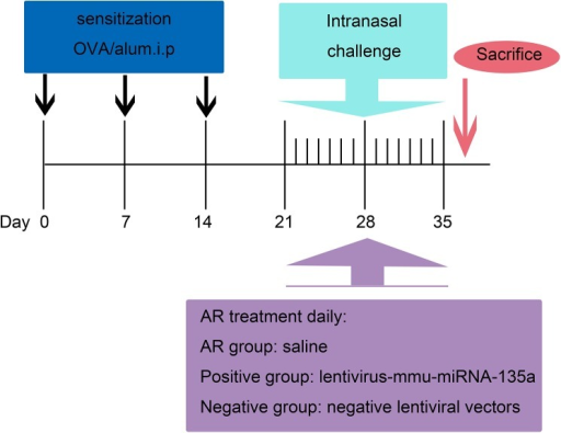 Sensitization and treatment protocol.Mice in the AR, positive, and negative groups were sensitized with 100 μg of ovalbumin (OVA) and 1 mg of aluminum hydroxide on days 0, 7, and 14. On days 21–35, these mice were intranasally administered 40 μl of saline containing 400 μg of OVA (20 μl per nostril) for secondary immunization. Furthermore, within 3 h of each treatment on days 21–35, the AR group was treated with saline, whereas the positive and negative groups were nasally administered 2 × 106 infectious units (IFUs) of LV miR-135a and 2 × 106 IFUs of an empty LV vector, respectively.