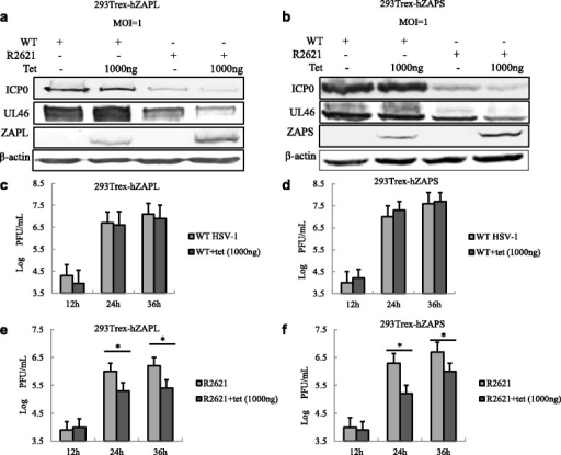 Expression of hZAP inhibits UL41- mutant HSV-1 R2621 infection. a and b 293Trex-hZAPL cells or 293Trex-hZAPS cells were infected with WT HSV-1 or R2621 at an MOI of 1, respectively. At 2 h post-infection, cells were mock treated or treated with tetracycline (1000 ng/mL). At 36 h post-infection, cells were lysed and subjected to WB analysis with the indicated Ab. c and d 293Trex-hZAPL cells or 293Trex-hZAPS cells were infected with WT HSV-1. After 2 h post-infection, cells were treated with or without Tet (1000 ng/mL) to induce hZAPL or hZAPS expression. Viral growth curves were generated by traditional plaque assays at the indicated time points. e and f 293Trex-hZAPL cells or 293Trex-hZAPS cells were infected with R2621 virus. After 2 h post-infection, cells were treated with or without Tet (1000 ng/mL) to induce hZAPL or hZAPS expression. Viral growth curves were generated by traditional plaque assays at the indicated time points. One representative of three independent experiments was shown. (*P < 0.05)