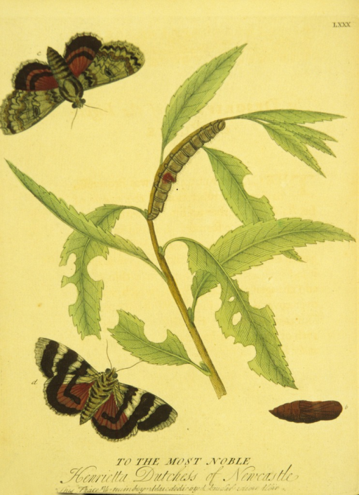<p>Colored illustration of the lifecycle of a red underwing moth, from caterpillar to moth.</p>