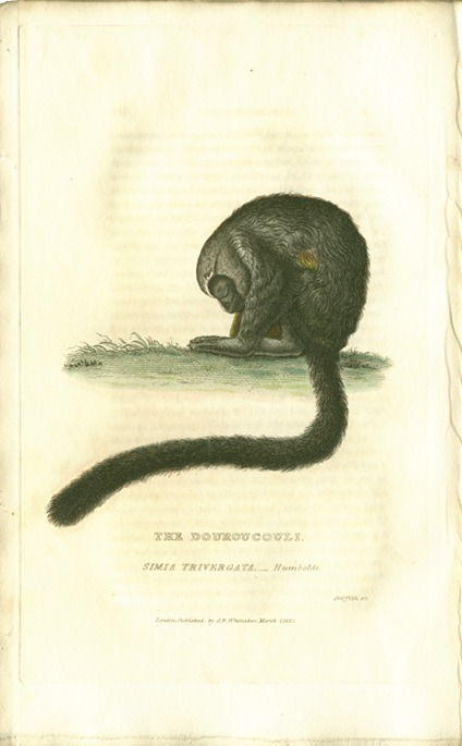 <p>Image of plate III, a douroucoule at rest, from Georges Cuvier's Animal kingdom.</p>