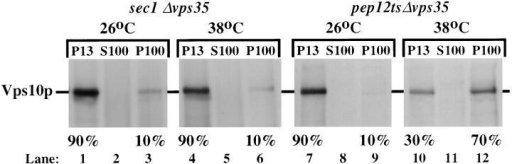 Vps10p is transported to the vacuole via the  prevacuolar endosome in  Δvps35 cells. The strains  MSY3501 (sec1 Δvps35) and  MSY3512 (pep12ts Δvps35)  were converted to spheroplasts before pre-shifting to  the indicated temperature  for 15 min. The cells were  then labeled for 15 min with  [35S]methionine and chased  for an additional 45 min at either 26°C or 38°C. After  dounce homogenization, the lysed cells were subjected to differential centrifugation to separate small Golgi-enriched membranes  (P100) from the larger vacuoles (P13). Vps10p was immunoprecipitated from the fractions. Transport of Vps10p to the P13 fraction  does not require Sec1p function and therefore does not occur by arrival of Vps10p at the plasma membrane and subsequent endocytosis  and delivery to the vacuole, but does require Pep12p function as Vps10p becomes trapped in a P100 membrane fraction upon inactivation of the endosomal t-SNARE Pep12p.