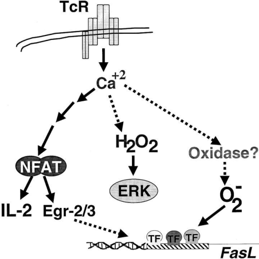Proposed scheme for TCR-stimulated ROS generation. TCR signaling induces both hydrogen peroxide (H2O2) and superoxide (O2− in a calcium dependent manner in pathway(s) independent of NFAT activation. Hydrogen peroxide production, from an unknown source, regulates ERK activation. Superoxide anion may be derived from an NADH/NADPH oxidase and is required for FasL promoter activation.