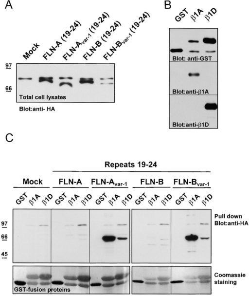 Binding of filamin isoforms and variants to GST–β1A and –β1D fusion proteins. (A) Detection of the expressed products from HA-tagged filamin-B cDNA constructs (filamin repeats 19–24) in lysates of COS-7 cells, transiently transfected with the indicated constructs. The upper band represents nonspecific reactivity of the antibody with an endogenous protein. (B) Expression of recombinant GST–β1A and –β1D fusion proteins. The GST fusion proteins containing the cytoplasmic domains of β1A and β1D were purified on glutathione-Sepharose 4B beads and analyzed by immunoblotting with antibodies against GST, β1A, and β1D subunits. (C) Pull-down assay with GST or GST–β1A and –β1D fusion proteins, immobilized on glutathione beads (A) containing HA-tagged fusion proteins as indicated. (Top) Immunoblot detection of bound filamin-Avar-1 and filamin-Bvar-1 to GST–β1A and very weak binding to GST–β1D. No binding was detected to filamin-A and filamin-B. (Bottom) Coomassie blue–stained polyvinylidene difluoride membrane showing the amount of GST fusion proteins used for each pull-down assay.