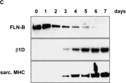 Expression of filamin isoforms and variants during in vitro myogenesis. (A) Schematic representation of the organization of the filamin domains and the regions analyzed by RT-PCR. (B) RT-PCR analysis of alternative splicing of the H1 region of filamin-A, filamin-B, and filamin-C in mouse C2C12 myoblasts and murine tissues, as indicated. Splicing is analyzed at the indicated time points after induction of differentiation. The H1 region of filamin-A is not spliced, whereas in filamin-B and filamin-C the H1 region is removed during myogenesis. Filamin-B(H1s) is detected in C2C12 cells and adult tissues. The switching from the β1A to the β1D variant during C2C12 differentiation is shown. (C) Immunoblot of the protein expression levels of filamin-B β1D, and MHC during myogenesis. Filamin-B expression decreases, while the myogenic differentiation markers β1D and MHC are both induced. (D) Amino acid alignment of the human and murine H1 and variable-1 region. The partial murine filamin sequences are available from GenBank/EMBL/DDBJ under accession nos. AF353668–353670.