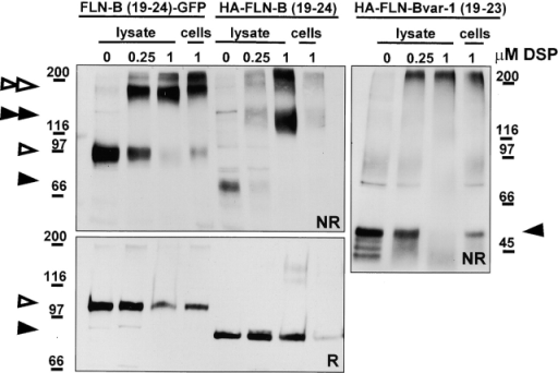 The GFP tag on the COOH-terminal part of filamin-B does not interfere with dimerization in vivo. CHO cells were transfected with either the NH2-terminal HA- or the COOH-terminal GFP-tagged FLN-B(19–24) or with the NH2-terminal HA-tagged FLN-Bvar-1(19–23) construct lacking the last repeat. 2 d after transfection, filamin dimers in either cell lysates (lysate) or intact cells (cells) were stabilized by chemical cross-linking at two different concentrations of DSP for 1 h, and dimerization of the epitope-tagged filamins was analyzed by immunoblotting under nonreducing conditions (NR) using anti-HA and anti-GFP antibodies. The specificity of the cross-linkage was checked by including NH2-terminal HA-tagged FLN-Bvar-1(19–23), in which the truncation of COOH-terminal repeat 24 abolished dimerization. In addition, cross-linked samples were separated under reducing (R), DSP disrupting conditions resulting in the presence of filamin-B monomers. Closed arrowheads indicate HA-tagged products, and open arrowheads indicate GFP-tagged fusion proteins. A single arrow indicates a filamin monomer, and an arrow doublet indicates dimers.