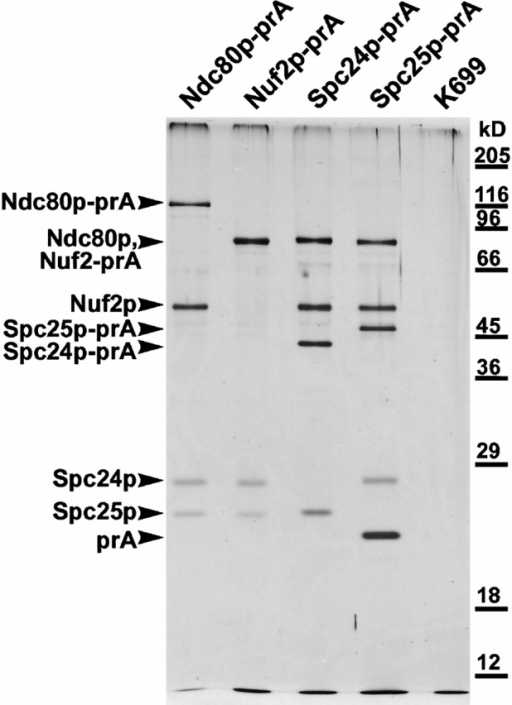 Silver-stained gel of the purified Ndc80p complex, prepared by tagging each of the individual components with prA and affinity purification on an IgG-Sepharose column. Components were identified by MALDI mass spectrometry (see Materials and Methods). Note that in the second lane, Ndc80p and Nuf2p-prA comigrate. The lane marked K699 shows an untagged strain.