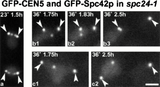 Live cell imaging of spc24-1 cells containing GFP-Spc42p, an SPB component, and GFP-CEN5. CEN5 was labeled by integration of tet operators (which bind GFP-tet repressors) 1.4 kb from CEN5 (Tanaka et al. 2000). Cells were synchronized in G1 with α-factor and released at 23°C for 1.5 h (a) or at 36°C (b1–b3, c1–c2) for the times indicated; arrowheads show the SPBs which are brighter than the centromeres (He et al. 2000; Tanaka et al. 2000). The same cell is imaged in b1–b3 and another cell in c1–c2. Bar, 2 μm.