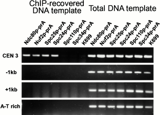 ChIP assay of strains containing prA-tagged Ndc80p complex components together with controls, prA-tagged Spc110p and Spc34p, and wt cells (K699). Regions of DNA amplified were across CEN3, across 1 kb to either side of CEN3, and across an AT-rich region (see Materials and Methods).
