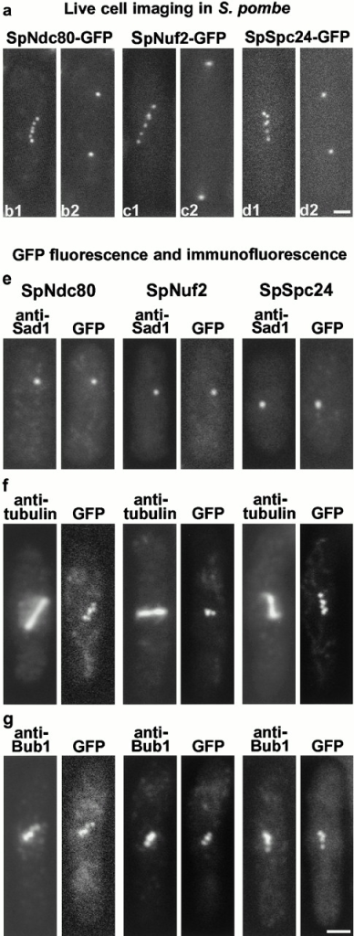 (a) Live cell imaging of SpNdc80p-GFP (b1 and b2), SpNuf2p-GFP (c1 and c2), and SpSpc24p-GFP (d1 and d2) in S. pombe. Cells about to complete anaphase A (b1, c1, and d1) show between five and six spots which within a few minutes coalesce into two spots during anaphase B (b2, c2, and d2). (e–g) Fluorescence of GFP compared with immunofluorescence with anti-Sad1 (e), antitubulin (f), and anti–HA-tagged Bub1 (g). Bars, 2.5 μm.