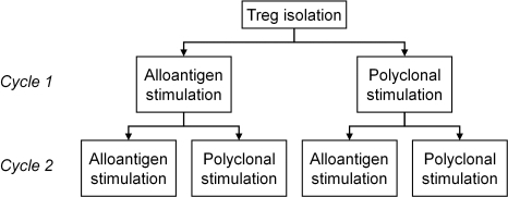 Schematic overview of expansion strategies.Treg were expanded in two cycles, in which alloantigen and polyclonal stimulation was alternated, resulting in four distinct strategies: two subsequent cycles with alloantigen stimulation; primary cycle with alloantigen stimulus and secondary cycle with polyclonal stimulus; primary cycle with polyclonal stimulus and secondary cycle with alloantigen stimulus; and two subsequent cycles with polyclonal stimulation.