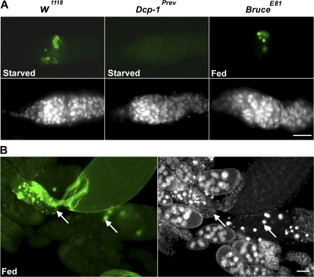 Dcp-1 is required for nutrient starvation–induced germarium cell death, and the IAP protein Bruce inhibits germarium and mid-oogenesis cell death. (A) Ovaries were stained with TUNEL (green) to detect DNA fragmentation. Clusters of cysts with TUNEL staining were observed in region 2 in nutrient-deprived w1118 files. In Dcp-1Prev flies, fewer TUNEL-positive cysts in region 2 were observed. Under well-fed conditions, numerous TUNEL-positive cysts were observed in BruceE81 flies. DAPI staining of nuclei is shown in white. (B) Numerous degenerating stage 8 egg chambers (arrows) with TUNEL-positive staining (green) were observed in well-fed BruceE81 flies. DAPI staining of nuclei (white) is shown on the right. Bars: (A) 20 μm; (B) 50 μm.