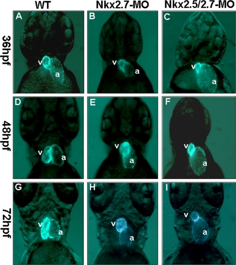 The defective phenotypes of zebrafish embryo heart injected with Nkx2.5-MO, Nkx2.7-MO and Nkx2.5/2.7-MO.Eight nanograms of MO were injected into one-cell stage embryos derived from transgenic line Tg (cmlc2::GFP) to knock down the Nkx protein specifically. The embryos are shown at 36 hpf (A, B, C), 48 hpf (D, E, F), and 72 hpf (G, H, I). The heart phenotype of Nkx2.5-MO embryos was similar to that of control embryos whose ventricle is located at the right side of the atrium when embryos were observed at 36 hpf, 48 hpf and 72 hpf from the ventral view under fluorescence microscope (A, D, G). However, embryos injected with Nkx2.7-MO displayed an unlooping defect from 36 hpf to 72 hpf (B, E, H). Embryos injected with Nkx2.5/2.7-MO displayed a shrunken ventricle and an expanding atrium (C, F, I). v: ventricle; a: atrium.