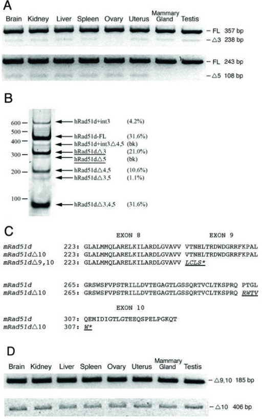 Expression analysis of Rad51d alternative transcripts. (A) RT-PCR for Mus musculus Rad51d and selected splice variants was conducted in eight tissues. Expression of RAD51DΔ3 employing primers Rad51d F1 and R1 (upper panel); RAD51DΔ5 with Rad51d F2 and R2 (lower panel). (B) RT-PCR products of human RAD51D in normal breast. Arrows indicate transcripts corresponding to known human splice isoforms [16]. RAD51DΔ3 and RAD51DΔ5 transcript positions are underlined. Size markers in base pairs are shown on the left. Numbers in parenthesis represent transcript abundance as determined by ImageJ analysis of the band intensities (bk; background). (C) The RAD51D peptide is aligned with the predicted amino acid sequence of RAD51DΔ9,10 and RAD51DΔ10. RAD51DΔ9,10 contains the first 8 exons of RAD51D followed by four out of frame amino acids (underlined and italicized) encoded by intron 8. RAD51DΔ10 includes amino acids 1–302 of RAD51D followed by five novel amino acids encoded by intronic sequence 5980 bp downstream from the predicted Rad51d polyA site. Premature termination codons are indicated by an asterisk, and exon boundaries are represented by a gap in the alignment of the predicted amino acid sequences. (D) RT-PCR for RAD51DΔ9,10 (upper panel) and RAD51DΔ10 (lower panel) from Mus musculus tissues with primers Rad51d F3 and Rad51dΔ9,10 R1 or Rad51dΔ10 R1 respectively. Abbreviations: 51D; RAD51D-FL, Δ3; RAD51DΔ3, Δ5; RAD51DΔ5, Δ9,10; RAD51DΔ9,10, Δ10; RAD51DΔ10.