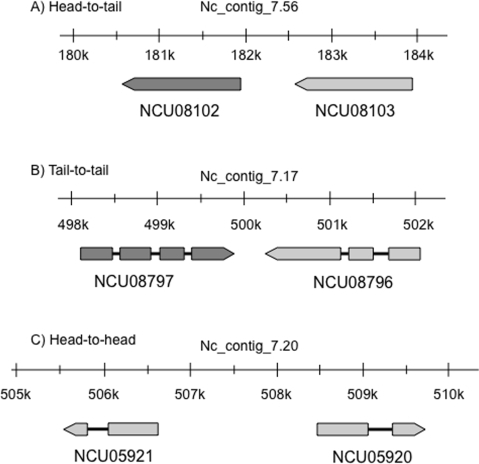 Examples of gene organization of tandem paralogous pairs of                                N. crassa-orphan PCGs.A) a paralogous gene pair, NCU08102 and NCU08103, shows a head-to-tail                            gene organization; 73 paralogous PCG pairs have this conformation. B)                            NCU08797 and NCU08796 are one of five cases of paralogous gene pairs                            having a head-to-head gene organization. C) NCU05920 and NCU05921 are                            one of four pairs of paralogous genes that show a tail-to-tail gene                            organization. Schematic representations are derived from the MIPS                                Neurospora crassa DataBase (http://mips.gsf.de/genre/proj/ncrassa/).