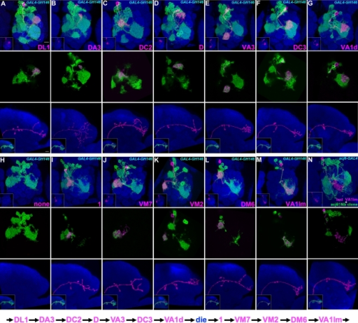 Twelve types of early-larval-derived GH146-positive uniglomerular adPNs.Twin-spot MARCM clones of adPNs labeled with GAL4-GH146 (A-M) or acj6-GAL4 (N). Top panels: composite confocal images of sister clones in the AL; middle panels: single focal sections of the AL covering the glomerular targets of GMC progeny (magenta); bottom panels: axon projections of GMC progeny (magenta); islets in bottom panels: axon projections of both GMC progeny (magenta) and its paired NB clone (green). Note each adPN type (magenta) consistently pairs with adPN NB clones (green) of specific compositions. Analysis of NB clones revealed the 12 types of GH146-positive adPNs are made in an invariant sequence from (A) to (M). And all the lone, unpaired NB clones (H), whose preceding GMC progeny probably die prematurely, were induced in the interval between VA1d and 1 adPNs. The sequence of early-larval adPN neurogenesis is summarized in the bottom. In addition, there are multiple neurons per type, as evidenced in middle panels that the glomerular target of GMC progeny can be co-labeled by its accompanying NB clone. For the lineage after VA1lm PNs, one can visualize GH146-negative adPNs with acj6-GAL4 as revealed in (N) where the last VA1lm adPN pairs with a 32-neuron-containing NB clone.