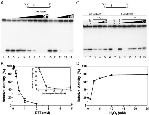 Redox-dependent modulation of ASFV AP endonucleolytic activity. AP endonuclease assays were carried out with 5′-[32P]-labelled RT-THF:CompT oligonucleotide duplex in the presence of 1 nM ASFV pE296R or 0.5 nM APE1, as indicated. The configuration of the substrate is indicated above (F stands for THF). (A) Effect of reducing agents. PAGE analysis of the reaction products. Lane 1, no enzyme; lanes 2–9, 0, 0.05, 0.1, 0.25, 0.5, 1, 2 and 5 mM DTT, respectively; lanes 10–14, 0, 2, 10, 20 and 40 mM β-ME, respectively. (B) Graphic of inhibition of ASFV pE296R-catalyzed AP endonuclease activity by DTT and β-ME (inset). The 100% activity corresponds to the maximal enzyme activity obtained with 0.05 mM DTT or in absence of β-ME in the inset. Each point is the mean of two independent experiments. The error bar indicates standard deviation. (C) Reversion of DTT inhibition by H2O2. PAGE analysis of the reaction products. The proteins were first incubated with or without DTT (20 min, 4 °C) and then with or without H2O2 (10 min, 4 °C) before performing the incision experiment. Lanes 1 and 6, without DTT or H2O2; Lanes 2 and 7, 5 mM DTT; lanes 3 and 8, 10 mM H2O2;; lanes 4 and 5, 10 mM H2O2 and 1 and 10 mM DTT, respectively; lanes 9–13, 5 mM DTT and 1, 2, 5, 10 and 25 mM H2O2, respectively. (D) Graphic of reversion by H2O2 of the DTT inhibition of ASFV pE296R AP endonuclease activity. The 100% activity corresponds to the maximal enzyme activity obtained in the presence of 0.05 mM DTT.