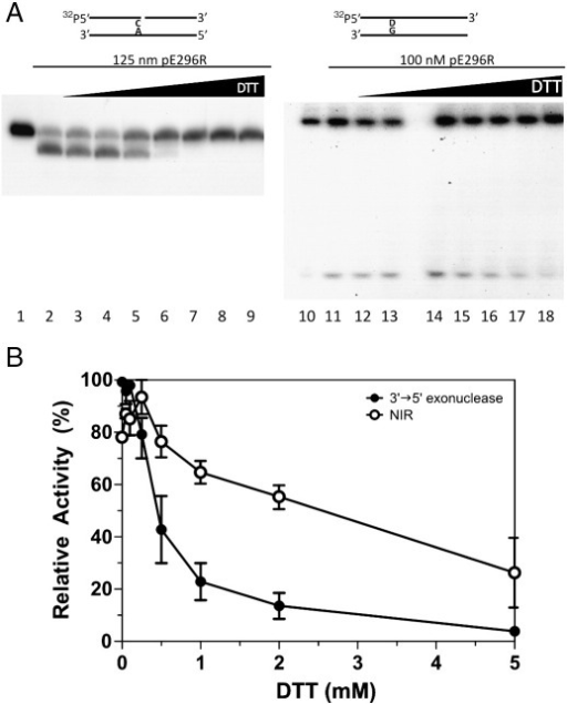 Inhibition of ASFV pE296R 3′ → 5′ exonuclease and NIR activities by DTT. Assays for 3′ → 5′ exonuclease were carried out with 5′-[32P]-labelled ExoC/RexA oligonucleotide duplex, while NIR activity was analyzed with 5′-[32P]-labelled RT-DHU/CompG. The configuration of the substrate is shown above (D stands for DHU) Enzyme concentration is shown for each group of samples. (A) PAGE analysis of 3′ → 5′ exonuclease degradation and NIR cleavage products. Lanes 1 and 10, no enzyme; lanes 2–9 and 11–18, 0, 0.05, 0.1, 0.25, 0.5, 1, 2 and 5 mM DTT, respectively. Note that an empty lane separates lanes 13 and 14. (B) Graphic representation of inhibition of exonuclease and NIR activities by DTT. The 100% activity corresponds to the maximal activity obtained in each experiment. Each point is the mean of two independent experiments. The error bar indicates standard deviation.