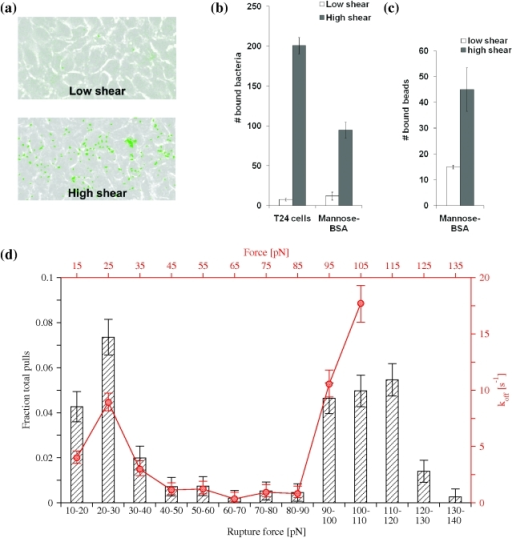 Shear-enhanced adhesion and catch bond behavior.(a) Binding of E. coli to uroepithelial cells at low (0.01 Pa) and high (0.1 Pa) shear stress in a flow chamber. (b) Level of E. coli binding under low (0.01 Pa) and high (0.1 Pa) shear stress to uroepithelial cells and mannose-BSA coated surface. (c) Binding of fimbrial tip-coated beads to mannose-BSA coated surface. (d) Binding of fimbrial tips to mannose-BSA in single molecule force spectroscopy experiments. The histograms in black (ordinate on the left, abscissa at the bottom) show the fraction of total pulls rupturing within a bin of a force range. The red line (ordinate on the right, abscissa at the top) displays the calculated unbinding rate (k_off) as a function of the force.