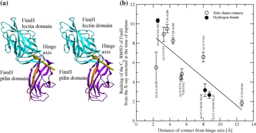 Unhinging pathway of FimH under tensile force in MD simulations.(a) Location of the hinge axis (stereoview) determined with the program DynDom [61] by comparing the conformation of FimH at the end of the run pull 1 with its native conformation. (b) Sequence of rupture events of contacts between Ld and Pd versus distance from the hinge axis. A contact was defined as broken at the first time point when it ruptured and was not seen to reform within 300 ps. The Cα RMSD was calculated at the time of rupture (time averaged over 200 ps, Figures S3a, S4, S5a) in all six pulling runs and ranked according to a fractional ranking algorithm (where equal values receive the same raking as their respective ordinal rankings). The average and standard error of the mean of the ranked RMSD values are plotted against the distance of the respective contact from the hinge axis. The Cα RMSD from the native structure is a better measure of progress than the time of rupture itself, because rupture events are observed to occur in approximately the same order in every simulation but the time point when they occur varies across the simulations. The distance of a contact from the hinge axis is calculated as the distance of the geometric center of the involved side chains from the axis (in the case of hydrogen bonds, the geometric center of the D–H … A atoms is used). Significant inverse linear correlation (Pearson's ρ = 0.78; p value = 0.004) shows that the ranking number decreases with increasing distance, suggesting that the larger the distance from the hinge axis, the earlier the rupture of a contact.