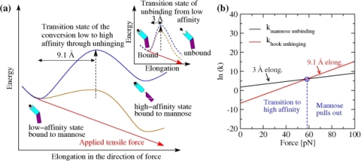 Effect of force on dissociation kinetics versus unhinging and activation kinetics.(a) Schematic representation of the energy landscape of FimH bound to mannose in the absence of force (blue) and in the presence of an external tensile force (brown). The energy barrier for the unhinging conversion from the low- to the high-affinity state is represented as solid lines. The barrier of the mannose unbinding process from the low-affinity state is shown in the insert as dashed lines. The energy added to the system as a result of the applied tensile force is indicated by a red line. The energy landscape in the presence of force is a result of the superposition of the energy landscape in the absence of force and the product of force times elongation. The elongation between the native and transition states is indicated. (b) Representation of the slopes for the rate constants for unhinging and unbinding. Since the elongation until conversion to the high-affinity state is not known, the slopes are calculated for the lower limit, 8.5 Å, and the upper limit, 18 Å, of the range. The intersection between the slopes for the unhinging rate and the slope for the mannose unbinding rate are indicated by blue circles. Where the slopes intersect the rate of unbinding and the rate of unhinging is equal.
