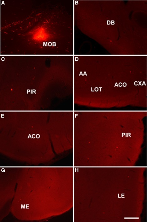 Sagittal (A) and coronal sections (B–H) from rostral to caudal levels of the telencephalic hemisphere showing the resulting labeling (B–H) after a dextran-amine labeled tetramethylrhodamine injection in the rat main olfactory bulb (A). Abbreviations: AA, anterior amygdala; ACO, anterior cortical amygdala; AON, anterior olfactory nucleus; CXA, cortex-amygdala transition zone; DB, nucleus of the diagonal band; LE, lateral entorhinal cortex; LOT, nucleus of the lateral olfactory tract; ME, medial amygdala; MOB, main olfactory bulb; PIR, piriform cortex; PLCO, posterolateral cortical amygdala. Scale bar for A: 800 μm, B–H: 400 μm.