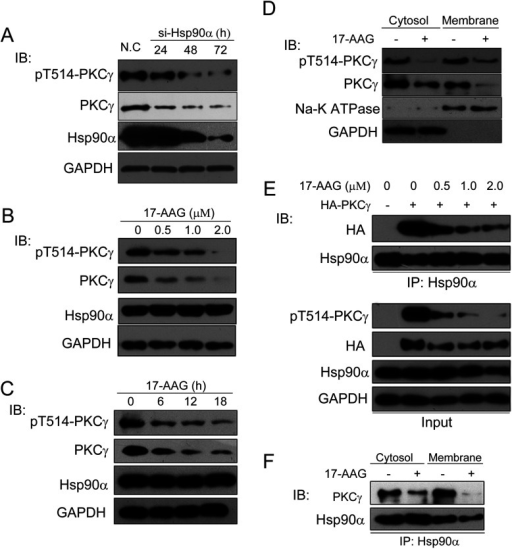 PKCγ chaperoning by Hsp90α(A) Whole-cell lysates were prepared from control siRNA or Hsp90α siRNA (si-Hsp90α)-transfected HeLa cells. Protein levels of Hsp90α and PKCγ and the phospho-Thr514 level of PKCγ were then detected by their respective antibodies. N.C, negative control. (B) HeLa cells treated by 17-AAG in a dose-dependent manner for 12 h were prepared for SDS/PAGE and protein levels of phopho-Thr514-PKCγ, PKCγ, Hsp90α and the loading control GAPDH were then detected by immunoblotting. (C) HeLa cells treated by 1 μM 17-AAG for different times were prepared for SDS/PAGE, and then protein levels of phospho-Thr514-PKCγ, PKCγ, Hsp90α and the loading control GAPDH were detected by immunoblotting. (D) Protein levels of phospho-Thr514-PKCγ and PKCγ in different fractions of HeLa cells treated with 1 μM 17-AAG for 12 h were detected by Western blotting. GAPDH and Na+/K+-ATPase were used as loading controls for the cytosol and membrane fractions respectively. (E) HeLa cells were transfected with the control vector or HA–PKCγ, treated with 17-AAG at different concentrations for 12 h and then whole-cell lysates were immunoprecipitated (IP) with an anti-Hsp90α antibody. Co-immunoprecipitated exogenous HA-tagged PKCγ was detected by immunoblotting. (F) Hsp90α was immunoprecipitated with an anti-Hsp90α antibody from the cytosol and membrane compartments with/without 17-AAG treatment and then co-precipitated endogenous PKCγ was detected by immunoblotting. IB, immunoblotting.