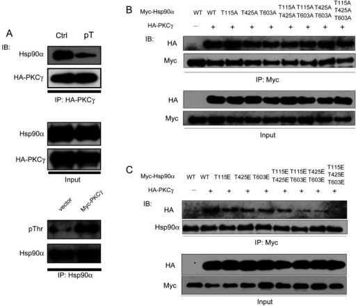 The effects of threonine set phosphorylation of Hsp90α on its interaction with PKCγ(A) Physical interaction between the HA–PKCγ protein and two forms of Hsp90α in vitro. HA–PKCγ immunoprecipitated (IP) from HeLa cells was transfected with HA–PKCγ. Control Hsp90α (Ctrl) was immunoprecipitated from HeLa cells transfected with a control vector. Phospho-Thr-Hsp90α (pT) was immunoprecipitated from HeLa cells transfected with Myc-tagged PKCγ. (B and C) HeLa cells co-transfected with HA–PKCγ and Myc-tagged Hsp90α non-phospho (B) or phospho (C) mutants were lysed and immunoprecipitated with an anti-Myc antibody. The co-precipitated exogenous HA–PKCγ was detected by immunoblotting (IB).