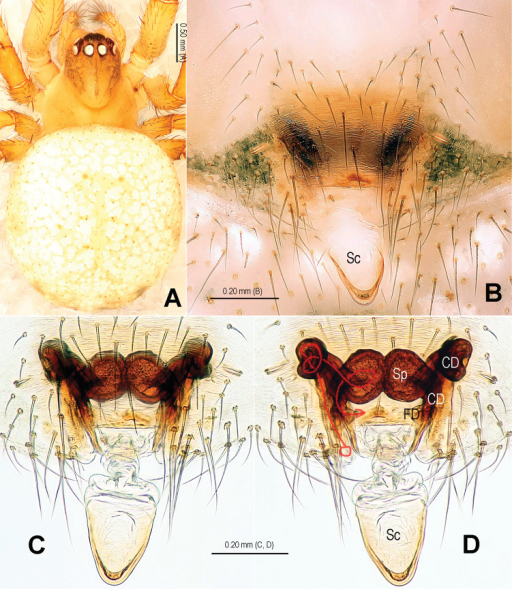 Alaria navicularis sp. n., female paratype, from Tham Kamouk. A Habitus, dorsal B Epigyne, ventral C Vulva (lactic acid-treated), ventral D Ditto, dorsal (red line showing course of duct system). CD = copulatory duct; FD = fertilization duct; Sc = scape; Sp = spermathecae.