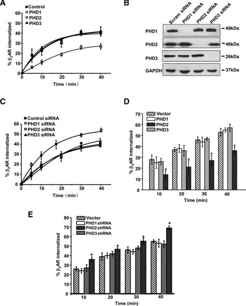 PHD2 regulates the rate of β2-AR internalization. (A) Overexpression of PHD2, but not PHD1 or PHD3, inhibits β2-AR internalization. β2-AR-293 cells were transfected with PHD1, PHD2, PHD3 or the vector (pcDNA3.0) plasmid. Forty-eight hours after transfection, these cells were stimulated with ISO (10 μM) for the indicated time to determine β2-AR internalization as described in 'Materials and methods'. Internalized receptors are considered to be those removed from the plasma membrane after agonist treatment. (B) β2-AR-293 cells were transfected with PHD1, PHD2, PHD3 or scramble (Scram) siRNA for 48 hrs. The expression of each PHD isoform was determined by Western blots. Glyceraldehyde 3-phosphate dehydrogenase (GAPDH) was used as the loading control. (C) PHD2 silencing promotes β2-AR internalization. Endogenous PHD expression in β2-AR-293 cells was silenced by specific siRNA. Forty-eight hours after transfection, β2-AR was stimulated with ISO (10 μM) for the indicated time to conduct a β2-AR internalization assay. (D) Neonatal rat cardiomyocytes were infected with PHD1, PHD2, PHD3 or vector virus (control) for 48 hrs, and then these cells were stimulated with ISO for the indicated time to determine β2-AR internalization. (E) Neonatal rat cardiomyocytes were infected with PHD1, PHD2, PHD3 shRNA-lentiviral constructs or vector virus (control), and then these cells were stimulated with ISO for the indicated time for β2-AR internalization assay. The data are shown as the means ± S.E.M. of representative experiments performed at least three times in triplicate. Asterisk (*) denotes a value that is significantly different from controls (P < 0.05).