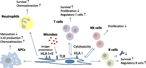 Overview of the interactions between mesenchymal stromal cells (MSCs) and immune cells. MSCs secrete cytokines (including transforming growth factor β, hepatocyte growth factor, IL-6, IL-7), chemokines (CCL2, IL-8) and prostaglandins (prostaglandin-E2), and express proliferation inhibitory cell surface molecules (programmed death ligand 1, Fas ligand) and metabolic enzymes (indoleamine 2,3-dioxygenase, CD73) that target immune cells in various ways. APC, antigen-presenting cell; NK, natural killer; TLR, Toll-like receptor.