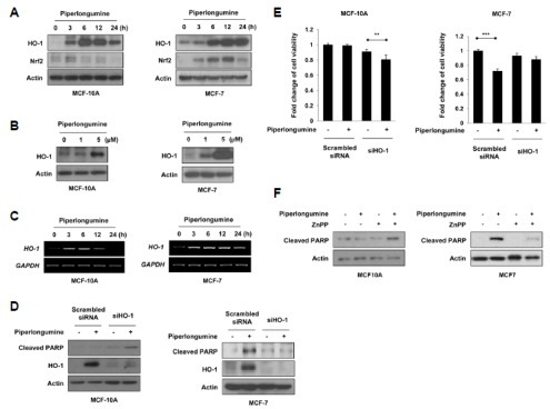 HO-1 mediates the selective effect of piperlongumine on cancer cell apoptosis. (A-C) MCF-10A and MCF-7 cells were treated with 5 μM of piperlongumine for the indicated time periods (A, C) and 0, 1 or 5 μM of piperlongumine for 24 h (B). (A, B) Total protein isolated from cell lysates was subjected to immunoblot analysis for the measurement of HO-1 and Nrf2. Actin was used as an equal loading control for normalization. (C) The expression of HO-1 mRNA was determined by semi-quantitative RT-PCR. The level of GAPDH mRNA was used as an internal control. (D, E) Cells were transfected with scrambled or HO-1 siRNA for 24 h, and then exposed to piperlongumine for additional 24 h. The protein levels of cleaved PAPR, HO-1 and actin were determined by Western blot analysis (D). Cell viability was evaluated by the MTT assay (E). Means ± S.D. (n = 3), **p < 0.01, ***p < 0.001. (F) MCF-10A and MCF-7 cells were treated with piperlongumine in the absence or presence of ZnPP for 24 h. The protein levels of cleaved PAPR, HO-1 and actin were determined by Western blot analysis.