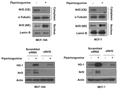 Piperlongumine upregulates HO-1 expression through Nrf2 activation. (A) Cytosolic and nuclear extracts were prepared from MCF-10A and MCF-7 cells treated with or without piperlongumine (5 μM) for 3 h (MCF-10A) or 12 h (MCF-7). The protein levels of Nrf2 were measured by Western blot analysis. α-Tubulin and Lamin B1 was used as an equal loading control for normalization. (B) Cells were transfected with scrambled or Nrf2 siRNA for 24 h, and then treated with piperlongumine for additional 3 h (MCF-10A) or 12 h (MCF-7). The protein levels of HO-1, Nrf2 and actin were determined by Western blot analysis.