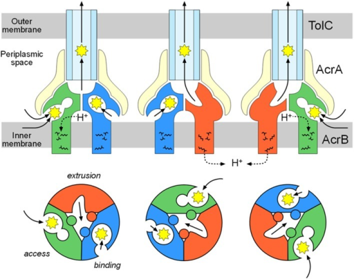 Functional-rotation mechanism of drug export mediated through the AcrAB-TolC tripartite complex. The upper and lower panels show side and horizontal views, respectively. The green, blue and red colors indicate the access, binding and extrusion stages of AcrB, respectively. The yellow and pale blue colors indicate AcrA and TolC, respectively. The jagged circles indicate substrates.