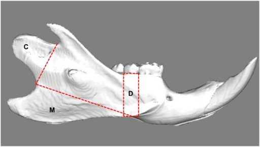Lateral view of a reconstructed right hemimandible showing the volumes of interest.C: Condyle; Selection is defined by the line connecting the two notches superior and inferior of this area. M: Attachment site of the superficial masseter muscle; the border line connects the notches ventrocaudal and craniodorsal to the mandibular angle. D: Alveolar cortical bone; the selection is defined by two lines drawn perpendicular to the lower border of the mandible, mesial and distal of the second molar.