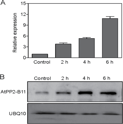 Expression of AtPP2-B11 is induced by salt stress. (A). Induction investigation of AtPP2-B11 by salt stress at the transcriptional level. Total RNA from 2-week-old wild-type plants was obtained and analysed by real-time RT-PCR. The mean values of real-time RT-PCR from three biological replicates were normalized to the levels of an internal control, GAPDH. Error bar indicates SD (n=3). (B). Induction investigation of AtPP2-B11 by salt stress at the protein level. Total proteins from 2-week-old wild-type plants were obtained and analysed by Western blotting. Experiments were repeated three times with similar results. UBQ10 was used as a loading control.